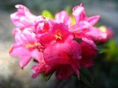 Rhododendron ferrugineum Alpenrose   (tuin Vossendries)