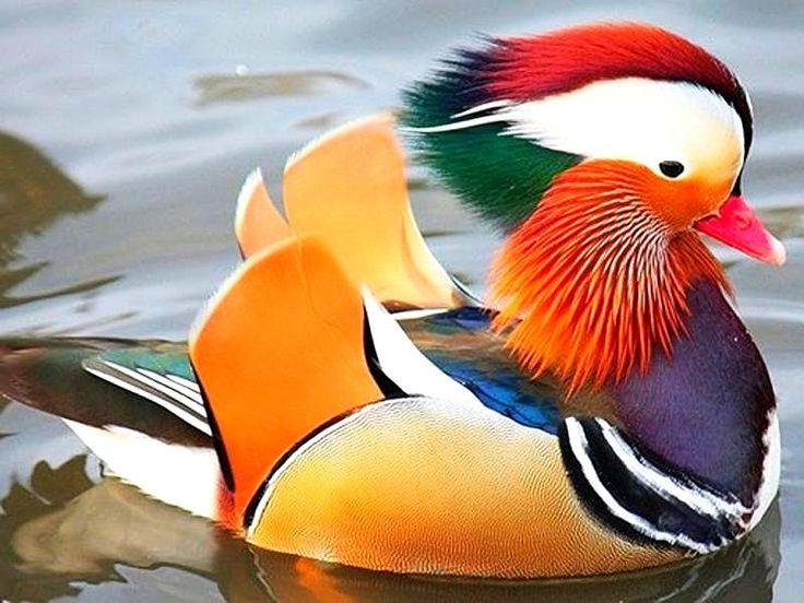 """Китайская утка """"Мандаринка"""" -символ Верности,  выбирает пару один раз в жизни и навсегда"""