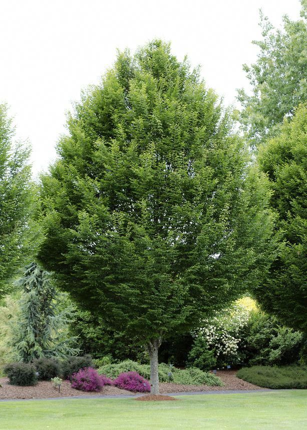 Horn Beam Tree For Low Prices From Tn Nursery Frontgarden