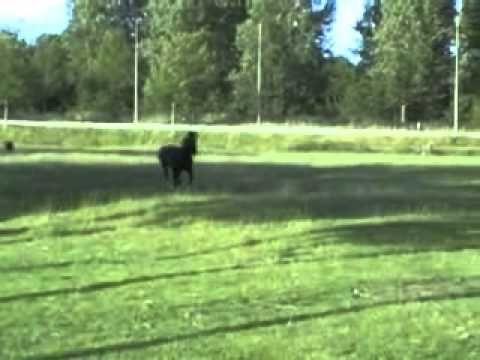 Kijk eens hoe enthousiast een pony kan reageren op zijn naam./ Pony reacts enthusiastically when owner calls