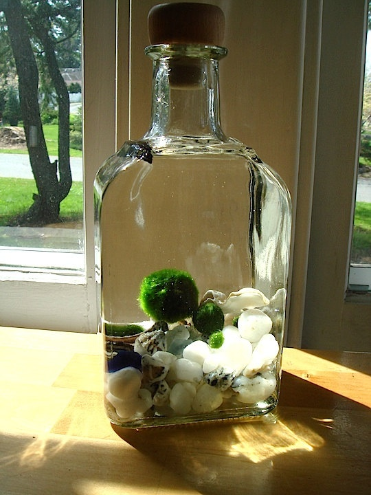 Live Marimo Balls in Decanter Terrarium....next type of terrarium I want to make!
