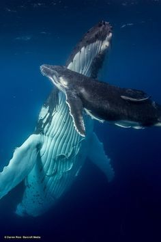 Humpback whale with her calf