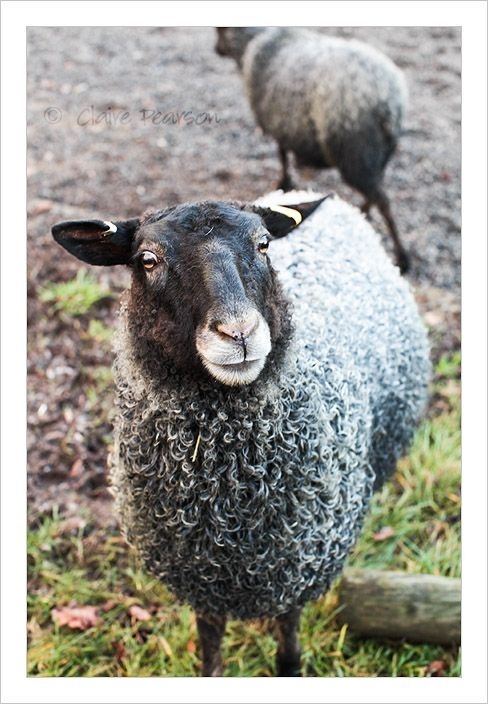 gotland sheep!  I want these