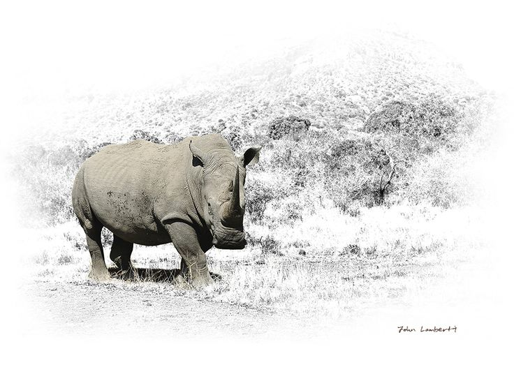 White Rhino | Canvas Print | Order online at ngunigalore.com - Delivery is FREE to anywhere in SA! | Size 830 x 550.  All canvas prints are available un-mounted, delivered in tubes.
