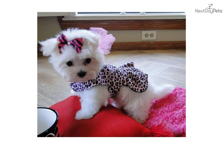 Maltese puppy for sale near Dallas / Fort Worth, Texas