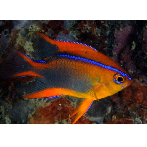 18 best damsel fish images on pinterest for Red saltwater fish