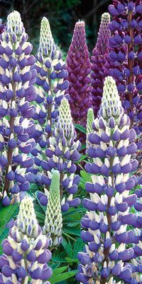 Lupins grow wild in the hills of California. So beautiful.