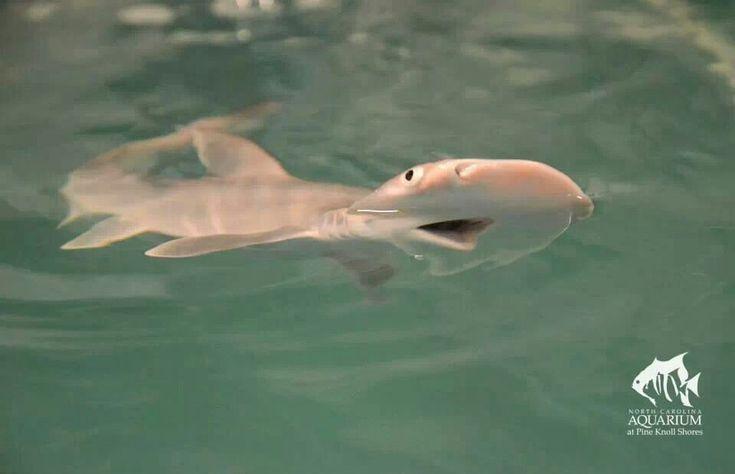 Bonnethead Shark pup | CRITTERS | Pinterest