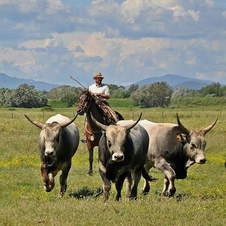 Butteri e vacche maremmane alla Fattoria La Spergolaia