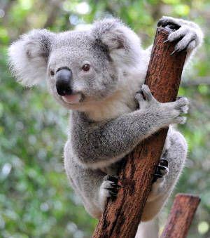 Les koalas font aujourd'hui face à de multiples menaces parmi lesquelles la destruction de leur habitat