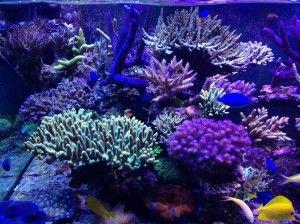 Allestire un acquario marino di barriera