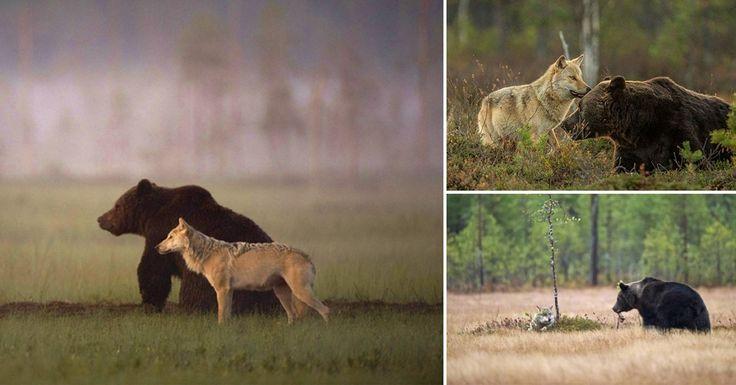 La insólita amistad entre un lobo y un oso