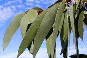 Las propiedades del eucalipto son conocidas mundialmente por su estimulante aroma y además por sus beneficios para la salud como lograr aliviar problemas respiratorios transformándose en uno de los mejores remedios naturales para la tos. SIGUE LEYENDO EN: http://alimentosparacurar.com/n/1027/propiedades-curativas-del-eucalipto.html