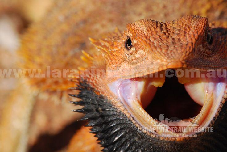 Bearded Dragon. Alice Valley. Section 6. (http://www.larapintatrail.com.au/s6.html). © Explorers Australia Pty Ltd 2014
