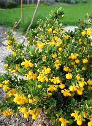 berberis buxifolia nana drought tolerant pinterest. Black Bedroom Furniture Sets. Home Design Ideas