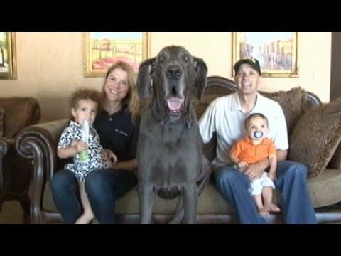 Giant George: World's Tallest Living Dog & World's Tallest Dog EVER Recorded (Photos and Video)