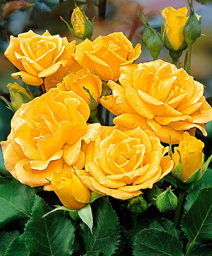Floribunda Rose 'Arthur Bell' - Shrub Rosa 'Arthur Bell.'  Rose 'Arthur Bell' (Rosa) is a rose bush that flowers from summer until autumn. The fragrant rose smells lovely and has beautiful flowers that range in colour from golden-yellow to cream with many flowers on one stem. The flowers are good for arrangements and bouquets. The bush is weather resistant. Few plants produce an abundant and incessant display of flowers as the floribunda rose.