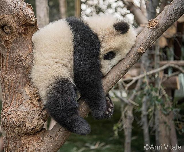 Photo by @amivitale. A baby panda snoozes in the trees at Chengdu Panda Base in Sichuan Province, China. Pandas spend half the day eating, and sleep at least a few hours between each meal. Panda cubs learn to climb trees early to avoid predators while their mothers forage for food. Although their diets do not provide them with much energy, baby pandas are playful and love to explore.  Follow @amivitale for more stories from around the world!  @natgeo @natgeocreative @thephotosociety #chegndu…