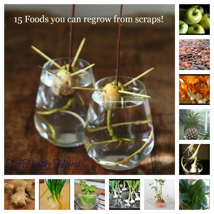 Various plants that you can regrow from the food you already have! Apples- http://www.ehow.com/how_2135774_grow-apple-seeds.html    Tomatoes- http://www.ehow.com/how_5581958_grow-tomatoes-fresh-tomato-seeds.html Potatoes http://www.gardenguides Green Onions- http://www.17apart.com/2012/02/how-to-grow-g: Gardens Ideas, Green Thumb, Growing Food, Regrow Food, 15 Food, 15Food, Greenthumb, Plants, Scrap