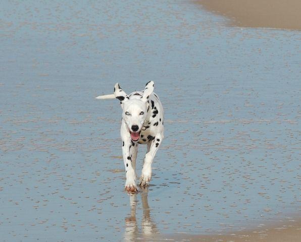 Tania, chien Dalmatien