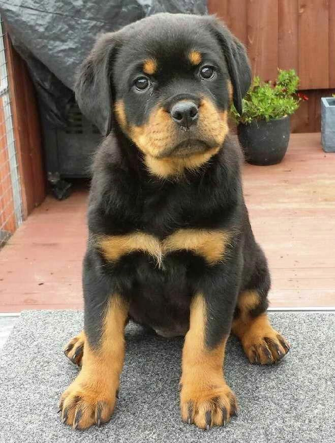 Pin On Rottweiler