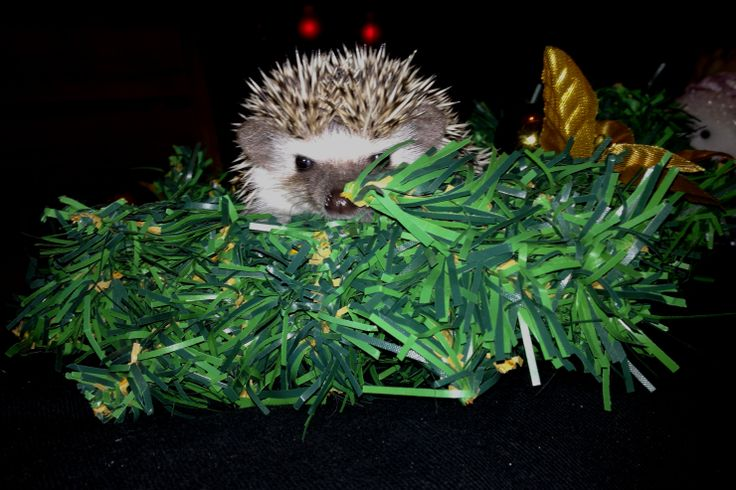 A Christmas Mystery from the Crime Readers' Association, where the most important question is: Did The Hedgehog Do It?