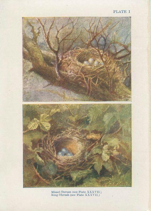 1906 Antique Tiny Bird Nest Picture 1 Egg by MarcadeVintagePrints