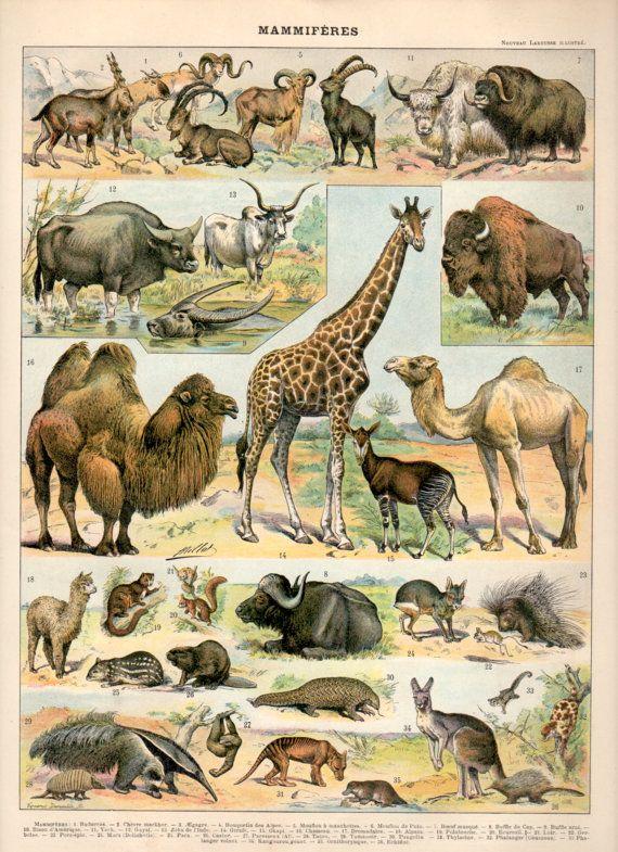 Giraffe  Mammal  African Mammals Guide  Kruger National