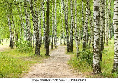 Pathway in birch forest. summer landscape - stock photo
