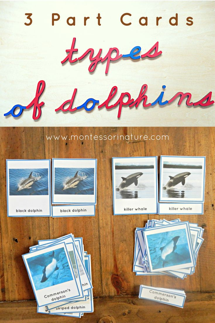 Bilingual dolphin counting card 6 clipart etc - Montessori 3 Part Cards Types Of Dolphins Montessori Nature Educational Activities For Montessori Homeschool And