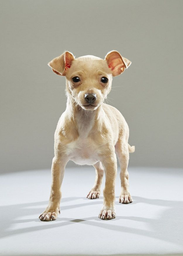 I Got Chiweenie Chihuahua Dachshund Which Mixed Breed Dog Is