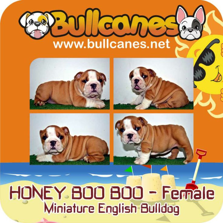 HONEY BOO BOO MINIATURE ENGLISH BULLDOG PUPPIES FOR SALE http://www.bullcanes.net / ceo@bullcanes.net / Facebook: bullcanes1@hotmail.com / instagram: @BULLCANES Bulldog puppies for Sale / Twiter: bullcanes1 / YouTube: Bullcanes Bulldog Kennel