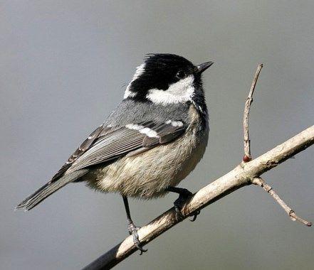 Les 20 meilleures images du tableau oiseaux de notre for Oiseau gris et blanc