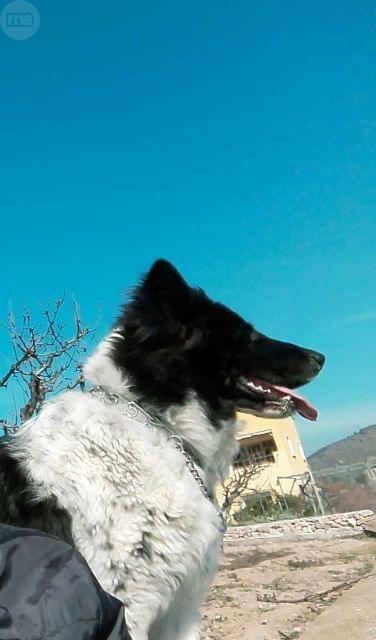 . ROCK: Mestizo de pastor aleman y perro lobo. Cachorro de un a�o. Le gustan los ni�os. Con chip y vacunas . Busco un lugar adecuado donde este bien ya que en estos momentos no puedo hacerme cargo como corresponde. Lo regalo con el compromiso de poder verle.