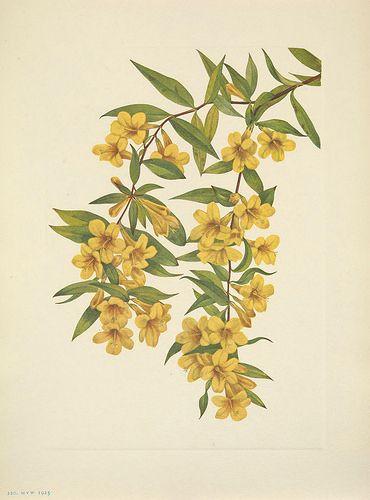 Carolina Yellow Jasmine. Gelsemium sempervirens. North American wild flowers, Walcott, Mary Vaux, vol. 3 (1925-1927)