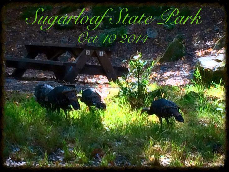 Turkeys Sugarloaf State Park.