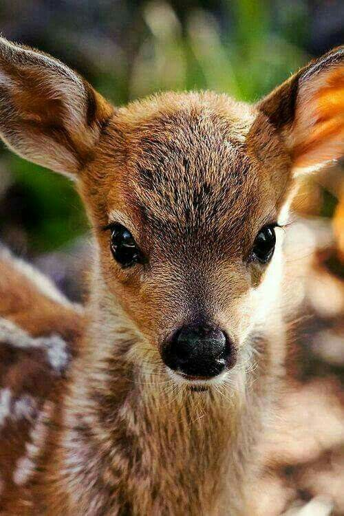Beautiful baby fawn