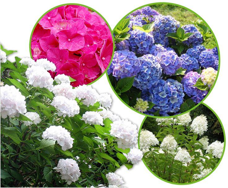 6- of 12 Witte, Blauwe Of Roze Hortensia's - Gratis Verzending!