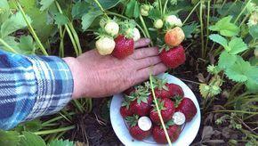 Вам понадобятся:      один большой флакон дегтя;     один пузырек марганца или йода;     один пузырек пихтового масла;     1 литр вытяжки органики или травы;     10 г борной кислоты.