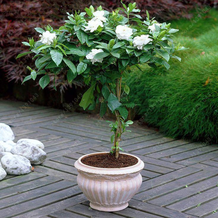 17 best ideas about jasmine plant on pinterest carolina. Black Bedroom Furniture Sets. Home Design Ideas