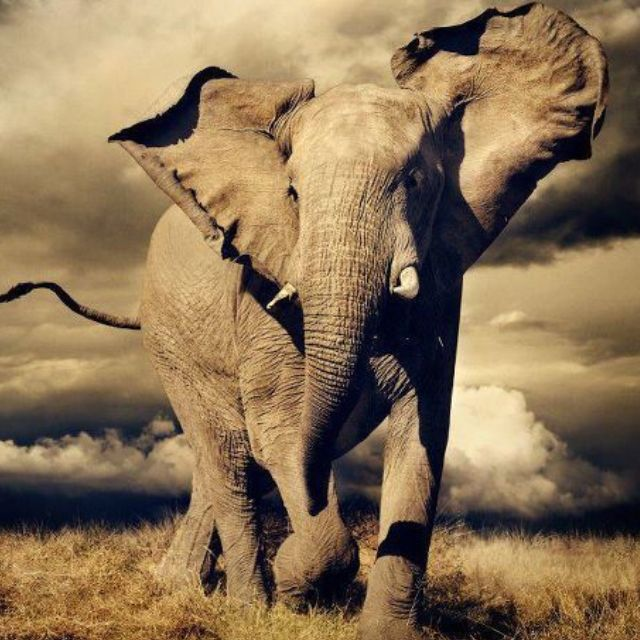 ❥ Elephants ❥   Charge by Alex Bernasconi. BelAfrique your personal travel planner - www.BelAfrique.com