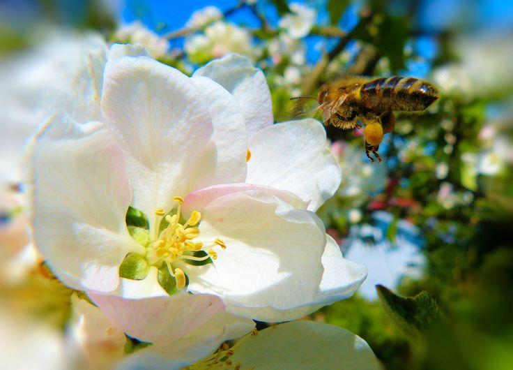The Apple Pollinator - null