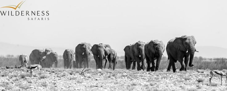 Wilderness Safaris – A breeding herd make their way to a waterhole in Etosha. #Safari #Africa #Namibia