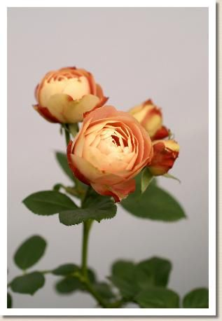 バラ アクロポリス ロマンティカ(Acropolis Romantica) 花の手帖のバラ図鑑