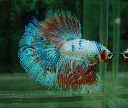Marble butterfly halfmoon gorgeous betta splendens for Butterfly betta fish