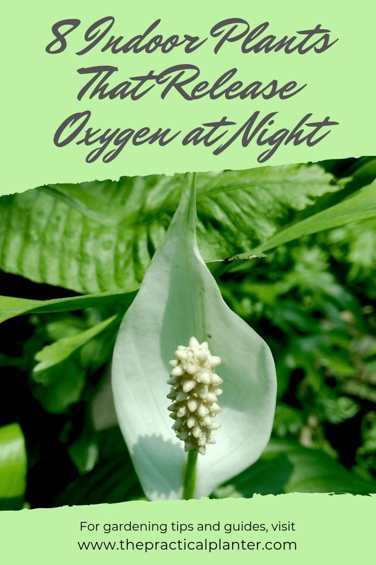 8 Incredible Indoor Plants That Release Oxygen at Night ...