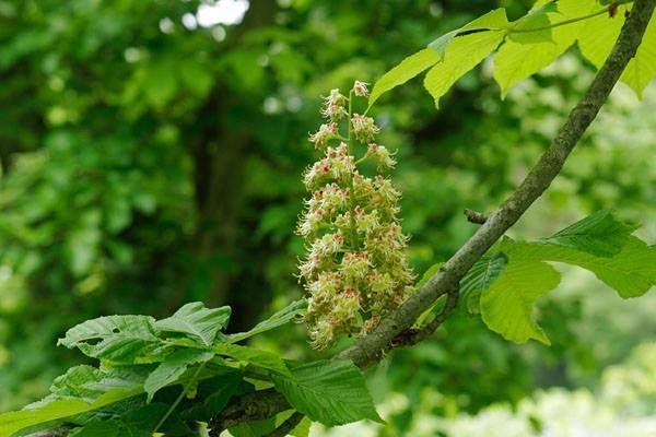 5月10日【トチノキ(栃の木)】学名:Aesculusturbinata近縁種のセイヨウトチノキが、フランス語名「マロニエ」形態:落葉樹 樹高:高木分類:トチノキ科花色:白~薄い紅色。穂状の花序となる。使われ方:公園樹、街路樹などとして使われています。     セイヨウトチノキ「マロニエ」はパリの街路樹として有名ですね。トチノキは巨木なるものが多く、昔はくり抜いて臼を作るのにも使われました。現在は木目や色の美しさから家具などの材料として使われ、主にテーブルなどに使用されています。栃の実は渋抜きをして食用になるため、かつては稲作困難な山村などで主食の一角を成した事もあります。飢饉等の非常時の食料としても重宝され、トチノキはあまり伐採されることは無かったようです。またトチノキの花は、ミツバチが好んで蜜を採取するため、養蜂の重要な蜜原植物です。養蜂家の中には「栃蜜が一番おいしい」という方も多いようです。