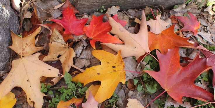 A palette of colors can be found in an arrangement of fallen leaves. One must remember that the color does not last long once the leaves have fallen on the ground. Every year is different depending on rainfall amounts, temperature and wind. These maple leaves had collected on the leeward side of two large rocks. Contact Carl Kurtz at cpkurtz@netins.net.