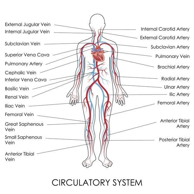 HUMAN BODY CIRCULATORY VASCULAR SYSTEM detailed poster print great quality  3