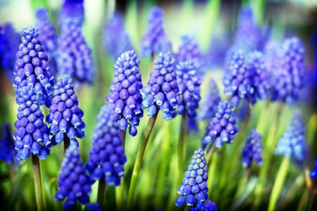 hyacinth | Grape Hyacinth [Muscari] - flowers Photo